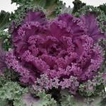 Jeffries Nagoya Mix Flowering Kale