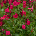 Jolly Farmer Neon Rose Salvia
