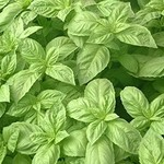 Jolly Farmer Nufar Sweet Basil