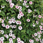 Jolly Farmer Pink Beauty Thunbergia