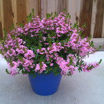 Jolly Farmer Pink Cloud Scaevola