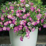 Jolly Farmer Pink Sorbet Calibrachoa