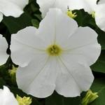 Jolly Farmer Pretty Grand White Upright Petunia