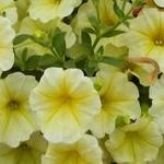 Jolly Farmer Prism Sunshine Upright Petunia