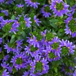 Jolly Farmer Purple Haze Scaevola
