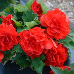 Jolly Farmer Red Begonia