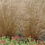 Jolly Farmer Red Rooster Carex Grass