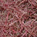 Jolly Farmer Red Thread Alternanthera