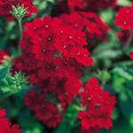 Jolly Farmer Red Verbena