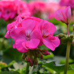 Jolly Farmer Rose Pink Geranium