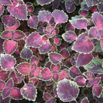 Jolly Farmer Rose Trailing Coleus