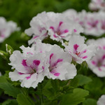 Jolly Farmer Royalty White Geranium