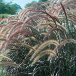 Jolly Farmer Rubrum Pennisetum