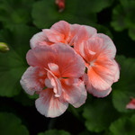 Jolly Farmer Salmon Chic Geranium
