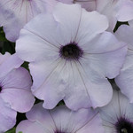 Jolly Farmer Silver Wave Petunia
