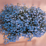 Jolly Farmer Sky Blue Lobelia