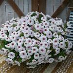 Jolly Farmer Snowberry White Petchoa