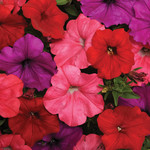 Jolly Farmer South Beach Mix Wave Petunia