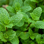 Jolly Farmer Spearmint
