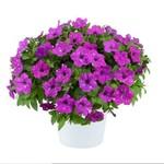 Jolly Farmer Splash Dance Purple Polka Dot Petunia