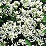 Jolly Farmer Starblast Snowdrift Euphorbia