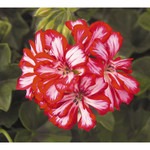 Jolly Farmer Stars and Stripes Geranium