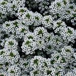Jolly Farmer Stream White Lobularia