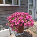 Jolly Farmer Sumo Pink Petunia