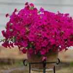 Jolly Farmer Sumo Plum Petunia
