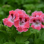 Jolly Farmer Sunrise Geranium