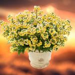 Jolly Farmer Sunshine Nemesia