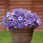 Jolly Farmer Surfinia Heavenly Blue Petunia