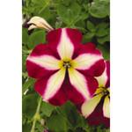 Jolly Farmer Surprise Monarch Star Petunia