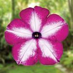 Jolly Farmer Surprise Tie Dye Pink Petunia