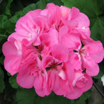 Jolly Farmer Tickled Pink Geranium