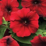 Jolly Farmer Velour Red Wave Petunia