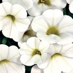 Jolly Farmer White Calibrachoa