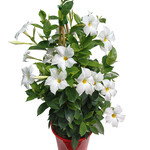 Jolly Farmer White Mandevilla