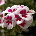 Jolly Farmer White Splash Geranium