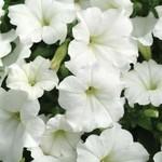 Jolly Farmer White Wave Petunia