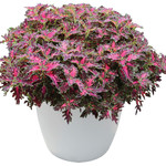 Jolly Farmer Wildfire Smoky Rose Coleus
