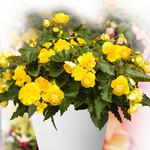 Jolly Farmer Yellow Begonia