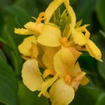 Jolly Farmer Yellow Canna