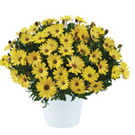 Jolly Farmer Yellow Osteospermum