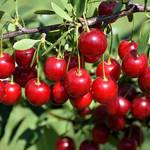 Jeffries Crimson Passion Cherry