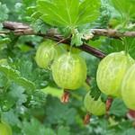 Aubin Captivator Gooseberry