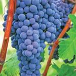 Jeffries Beta Grape