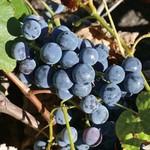 Aubin Blue Ice Grape