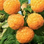 Aubin Fallgold Raspberry