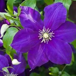 Jeffries Jackmanii Clematis